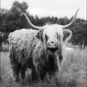 Tuinposter Schotse hooglander met hoorn GM decoratie